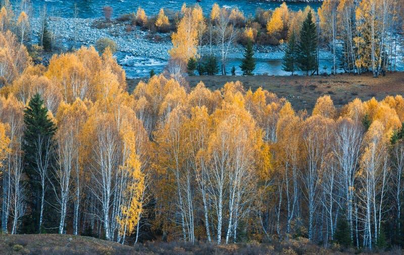 仙境秋天桦树森林 库存照片