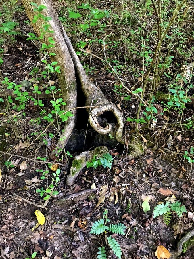 仙境门户-粗糙的树根在森林里 库存照片