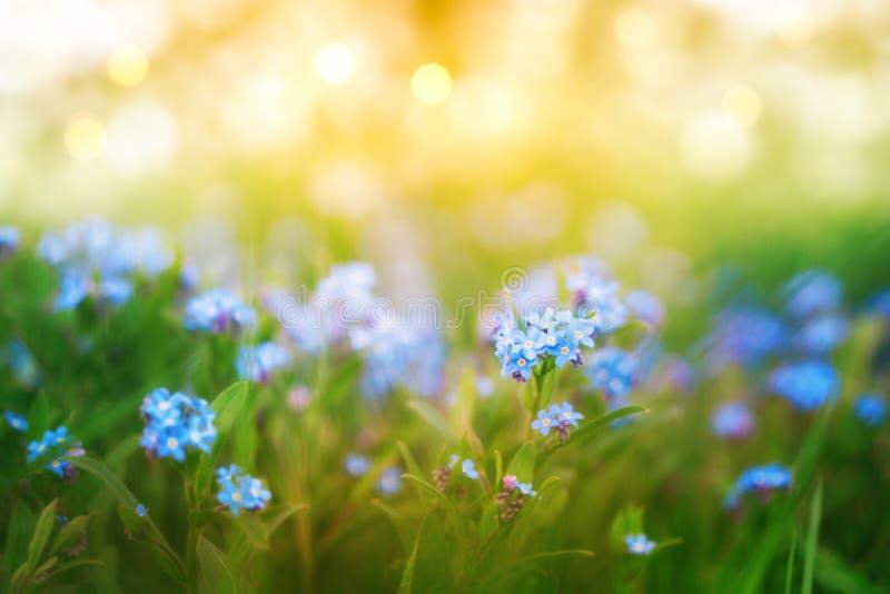 令人惊叹的自然背景,鲜绿草丛中的蓝色小花,阳光灿烂的闪光,宏观照片 图库摄影