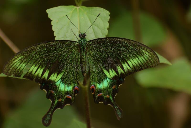 令人惊讶的共同的孔雀papilio bianor蝴蝶 免版税库存图片
