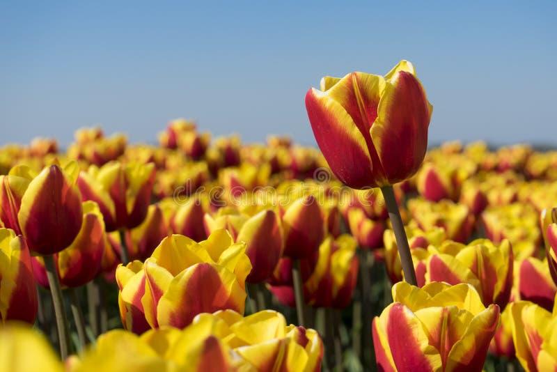 令人惊讶的红色宏观射击,黄色荷兰荷兰tulp花的超级锋利的关闭 完全明亮的阳光和五颜六色红色和 免版税库存照片