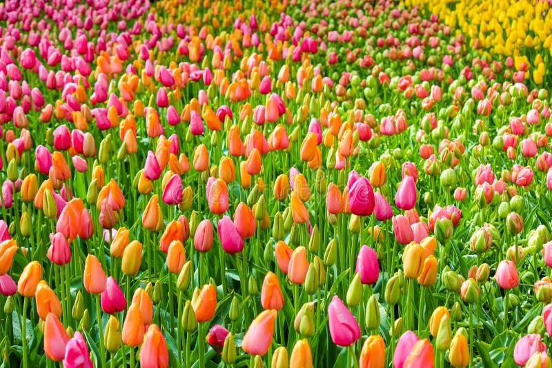 令人惊讶的花坛与新鲜的五颜六色的郁金香的 郁金香主要橙色和桃红色 在花的早晨露水 美好的自然 库存照片