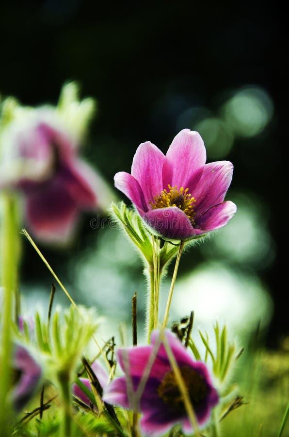 令人惊讶的颜色snowdrop特写镜头  第一朵春天花 免版税库存照片