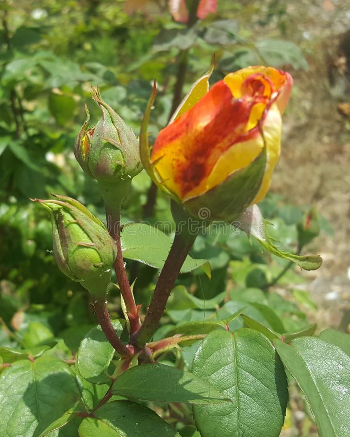 令人惊讶的黄色玫瑰在庭院里 库存图片