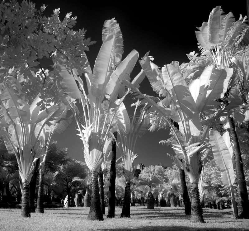 令人毛骨悚然的棕榈树 库存图片