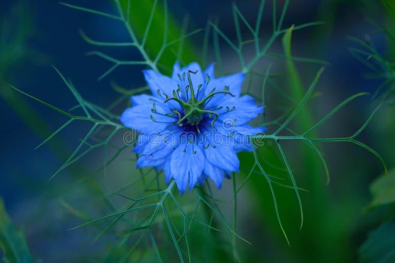 令人毛骨悚然的nigella花Nigella漂白亚麻纤维在晚上光 免版税库存图片