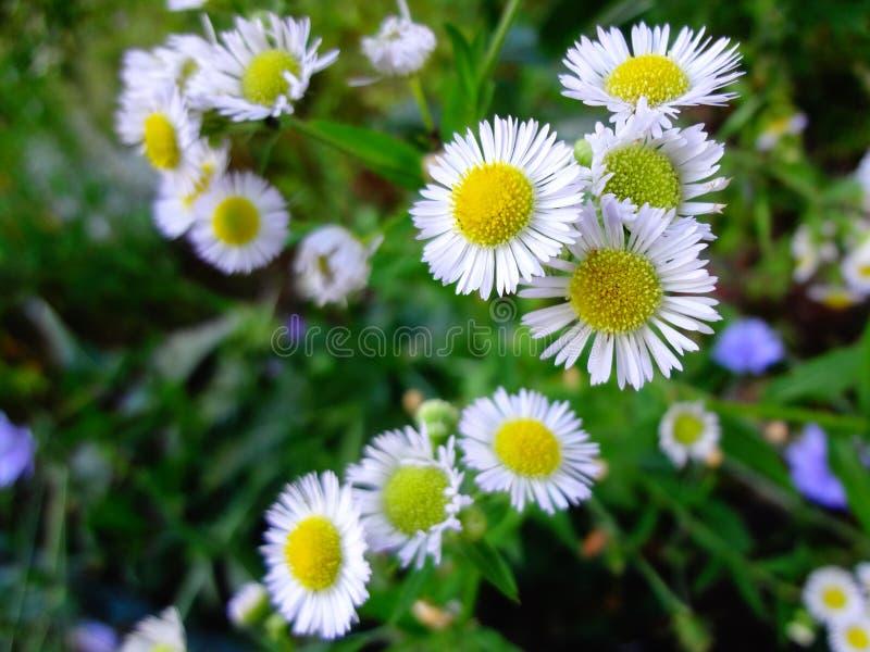 以一个开花的夏天草甸为背景的野生草甸春黄菊 库存照片