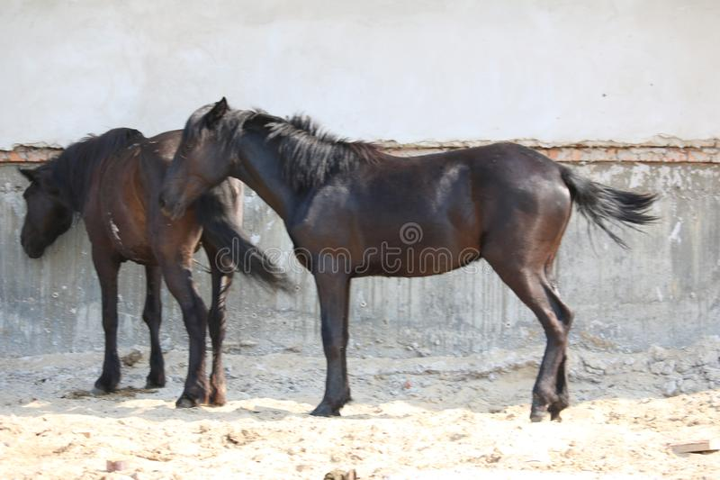 以一个白色大厦为背景的两匹美丽的马 库存照片