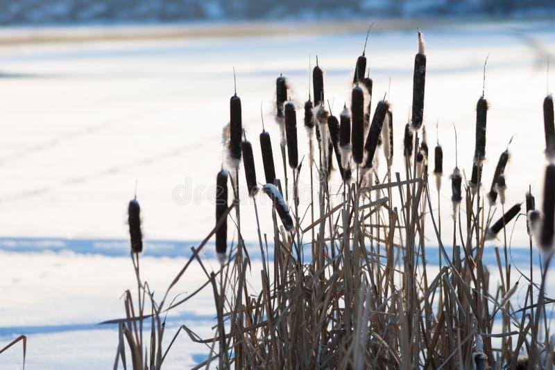 以一个积雪的湖为背景的干盐湖纸莎草日落的 库存图片