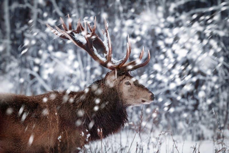 以一个美丽的冬天雪森林艺术性的冬天风景为背景的高尚的鹿男性 背景在红色圣诞老人白色的圣诞节图象 库存照片