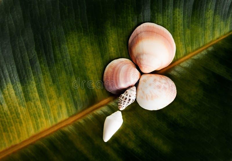 以一朵花的形式贝壳在榕属叶子的背景 免版税库存图片