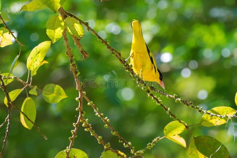 以与桃红色票据, s的黄色栖息在t的黑的naped金莺类鸟 免版税库存图片