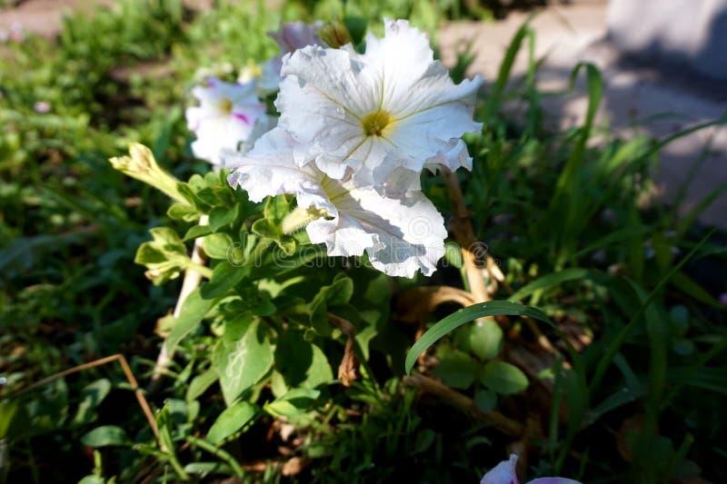 以响铃的形式,开花在花床上的庭院是一束装饰白花 库存照片