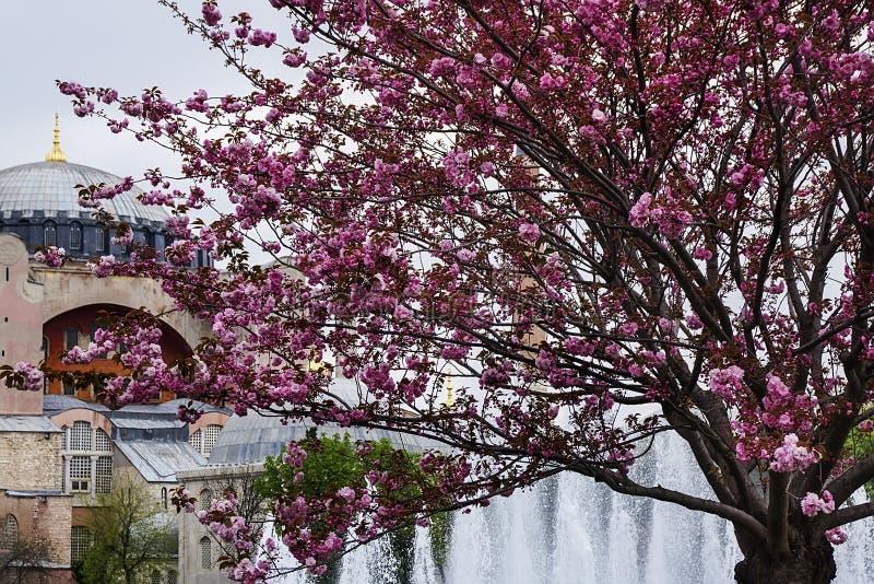 以圣索非亚大教堂博物馆的片段的为背景开花的樱花 伊斯坦布尔,土耳其 免版税库存图片