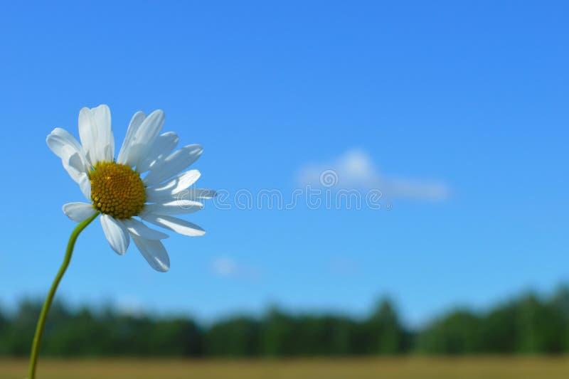 以天空蔚蓝为背景的花束白色狂放的camomiles 免版税库存图片