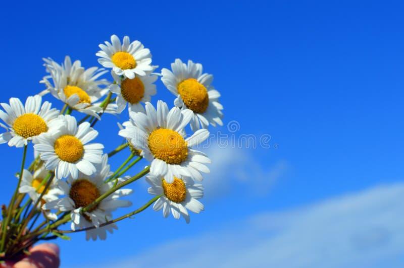 以天空蔚蓝为背景的花束白色狂放的camomiles 库存照片
