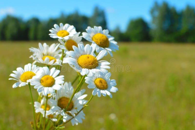 以天空蔚蓝为背景的花束白色狂放的camomiles 图库摄影