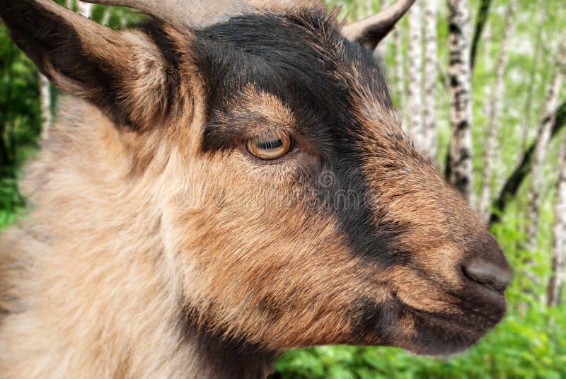 以桦树森林为背景的野山羊特写镜头 库存图片