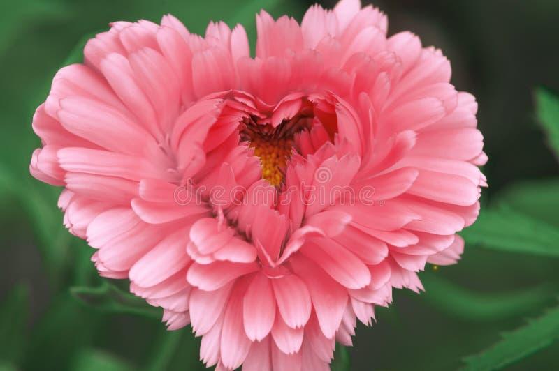 以祝贺您亲人的心脏的形式美丽的桃红色花在情人节 免版税图库摄影
