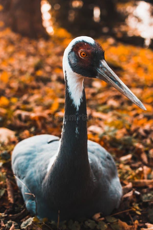 以秋天叶子为背景的Daurian起重机在加里宁格勒动物园,软的焦点,动物在被列出 免版税库存图片