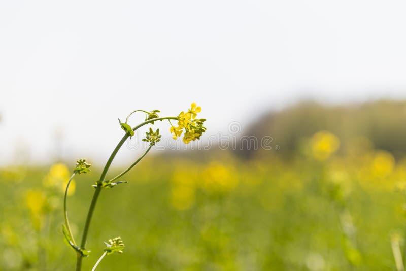 以领域为背景的唯一油菜籽花特写镜头 库存图片