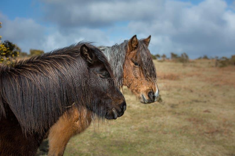 任意漫游在博德明的两个野生荒野小马停泊,康沃尔郡 免版税库存图片
