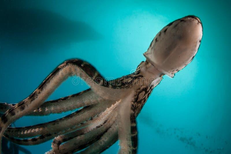 仿造章鱼在Lembeh海峡,印度尼西亚 免版税图库摄影