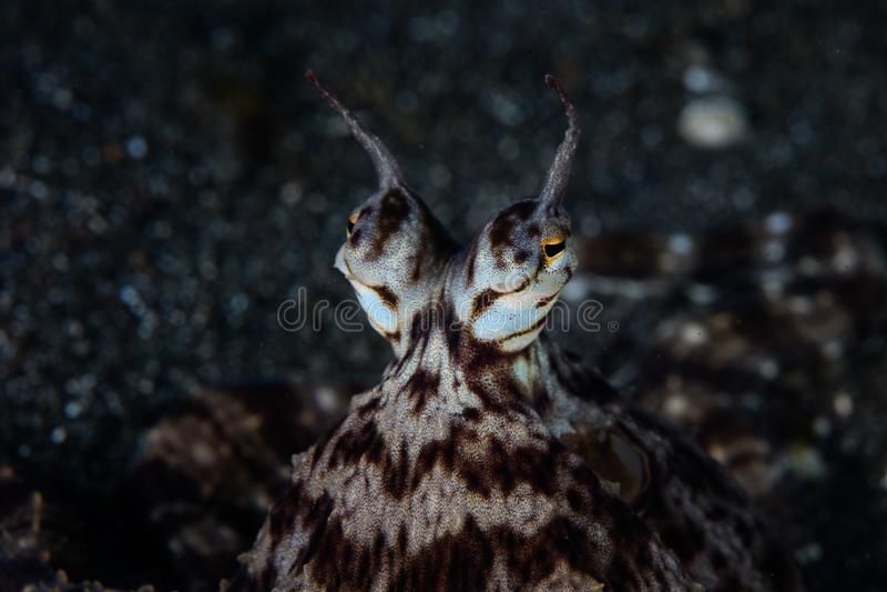 仿造章鱼眼睛在Lembeh海峡 免版税图库摄影