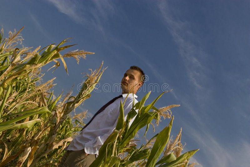 企业玉米 库存图片