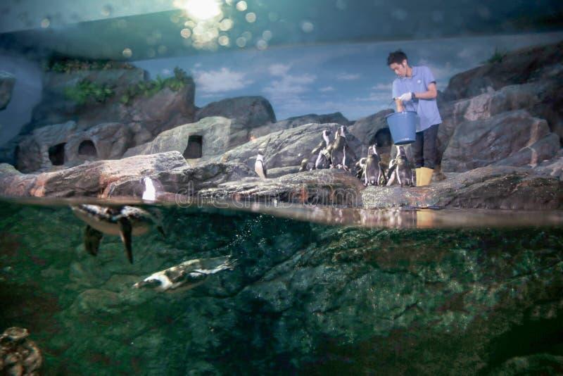 企鹅哺养 免版税库存照片