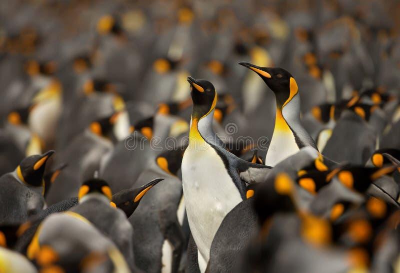 企鹅国王殖民地在福克兰群岛 免版税图库摄影