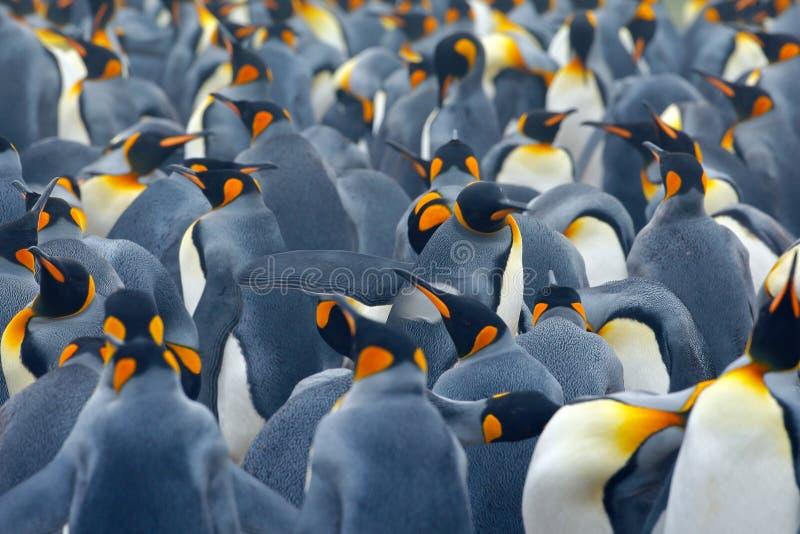 企鹅国王殖民地 许多鸟一起,在福克兰群岛 从自然的野生生物场面 动物行为在南极洲 企鹅 免版税库存图片