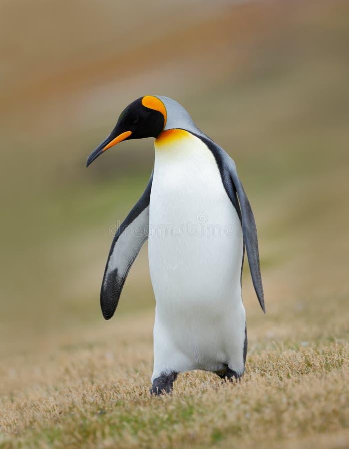 企鹅国王, Aptenodytes patagonicus,在草,福克兰群岛 库存图片