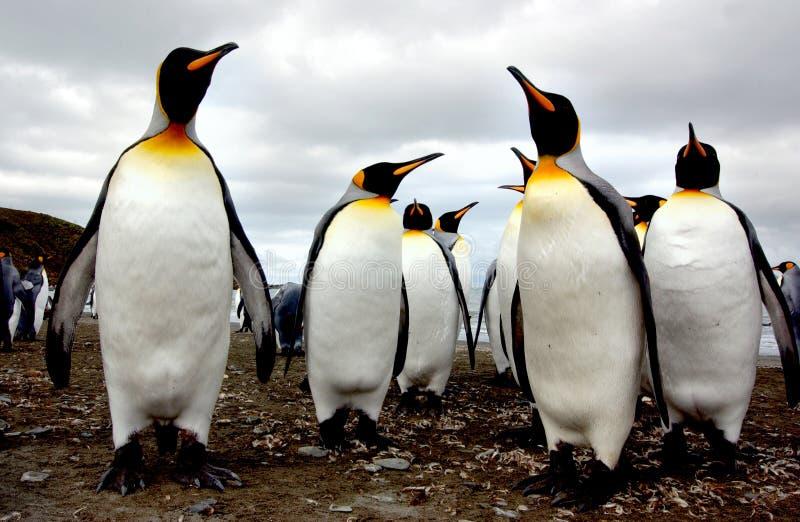 企鹅国王 库存图片