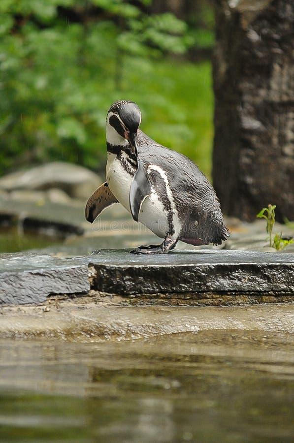 企鹅在动物园里 库存图片