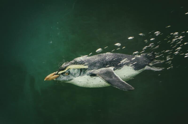 企鹅在水中 免版税库存图片