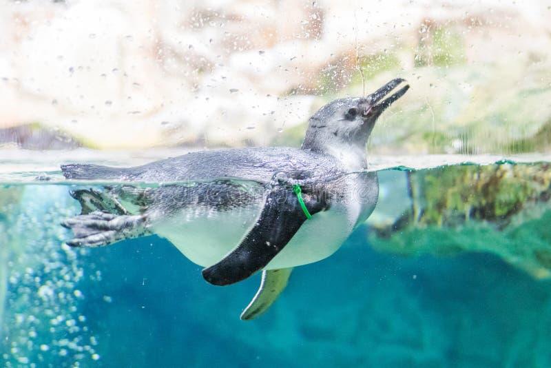 企鹅在水族馆游泳热那亚意大利 图库摄影
