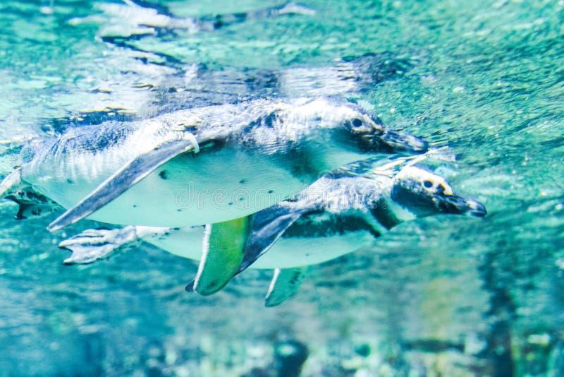 企鹅在水族馆游泳热那亚意大利 库存图片