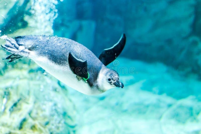 企鹅在水族馆游泳热那亚意大利 免版税图库摄影