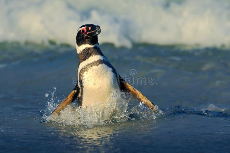 企鹅在水中 在海波浪的鸟 在波浪的企鹅游泳 海鸟在水中 在海浪的Magellanic企鹅 库存图片