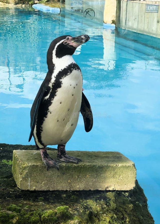 企鹅姿势 库存图片