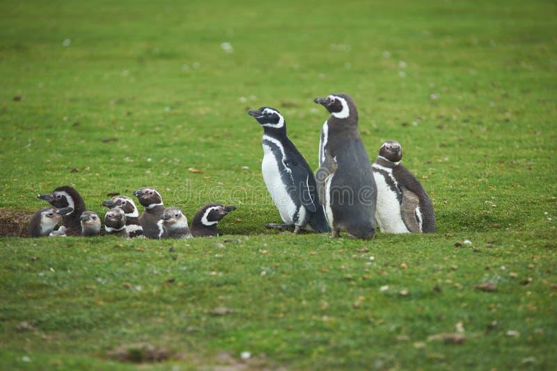 企鹅托婴所 图库摄影