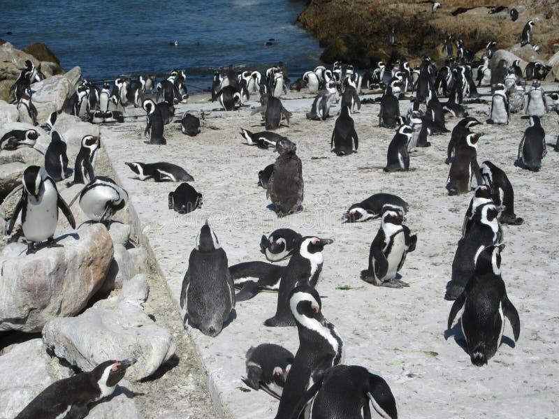 企鹅殖民地贝蒂;s海湾 免版税库存照片