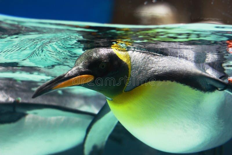 企鹅游泳 免版税库存图片