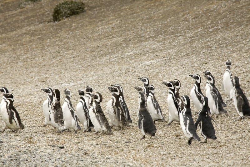 企鹅走 库存照片