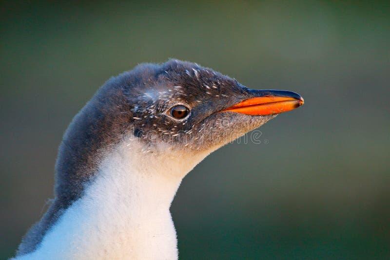 年轻企鹅画象 Gentoo企鹅,与橙色票据的Pygoscelis巴布亚详细的画象, 鸟头与美好的晚上 免版税图库摄影