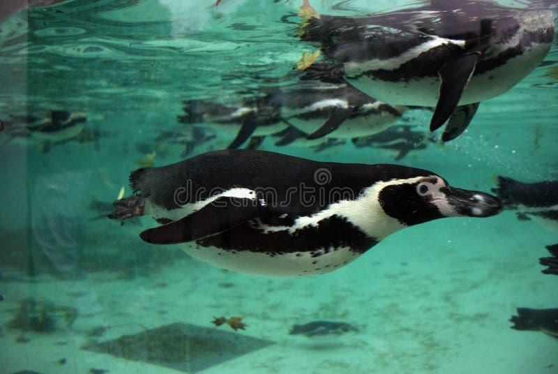 企鹅 图库摄影