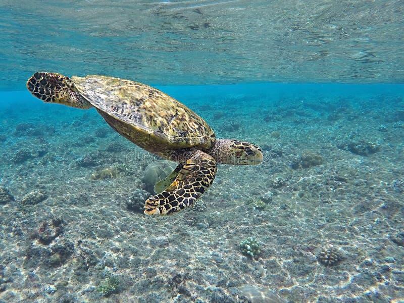 巴伊亚巴西coroa海岛海龟vermelha 免版税库存照片