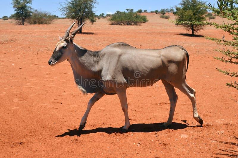Download 伊兰羚羊在纳米比亚 库存图片. 图片 包括有 敌意, 有角, 栖所, 动物区系, 公园, 破擦声, 女性 - 72353655