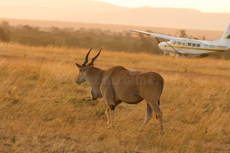 伊兰羚羊,马塞语玛拉 库存图片